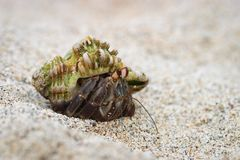Hermit Crab in Shell Royalty Free Stock Photo