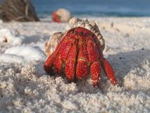 Hermit crab in shell on beach Royalty Free Stock Image