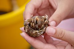 Hermit crab with shell in the girls hands stock image