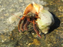 Hermit crab in the shell Rapana Royalty Free Stock Photography