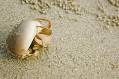 Hermit Crab in a shell. Hermit Crab in a screw shell on wet sand of a tropical sea beach Stock Image