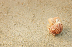Hermit Crab in a shell. Hermit Crab in a screw shell on wet sand of a tropical sea beach, selective focus Stock Image