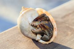 Hermit crab in shell on a seaside Stock Image