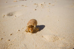 Hermit Crab. On the Siam Bay Racha island , Phuket THAILAND Stock Photography