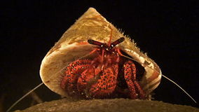 Hermit crab sits on a coral. Hermit crab is sitting on a coral during a night dive stock footage