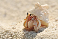 Hermit Crab. Small hermit crab in the sand Royalty Free Stock Images