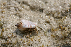 The hermit crab Royalty Free Stock Images