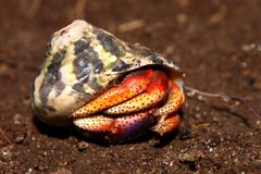 Hermit Crab on St Kitts Stock Photos