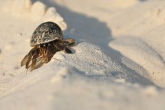 Hermit crab. Struggling up a heap of sand on a beach on one of the Similan Islands in Thailand stock photo