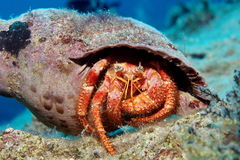 Hermit Crab in Triton Shell Royalty Free Stock Images