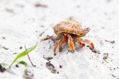 Hermit crab on a tropical beach Royalty Free Stock Photo