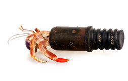 Hermit crab in a tube Stock Images