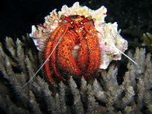 Hermit crab under water Stock Photography