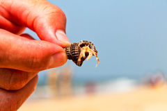 Hermit crab. Underwater life of the Indian ocean Stock Photos