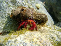 Hermit Crab underwater with sea anemone on shell Stock Photography