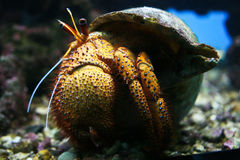 Hermit Crab. Crawling on aquarium floor Royalty Free Stock Photos