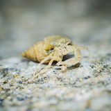 Hermit crab walk. Royalty Free Stock Photos