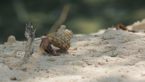 Hermit Crab walking stock footage