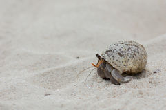 Hermit crab walking on the beach Royalty Free Stock Image