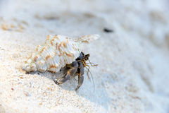 Hermit Crab walking on beach Stock Photography