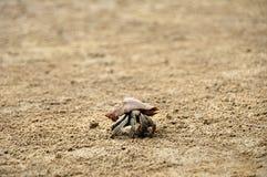 Hermit crab. Walking through empty beach in Bako National Park on Malaysian part of Borneo (Sarawak stock photography