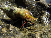 Hermit crab walking Royalty Free Stock Photo