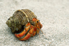 Hermit crab. Walking on the sand Royalty Free Stock Photography