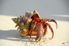 Hermit crab. Walking on sand Stock Image