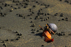 The hermit crab Stock Images
