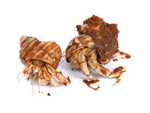 Hermit crabs. 2 hermit crabs marine life royalty free stock photography