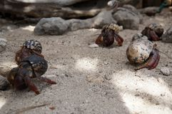 Hermit crabs on the beach Stock Images