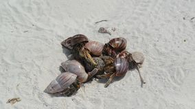 Hermit Crabs on a beach stock video footage