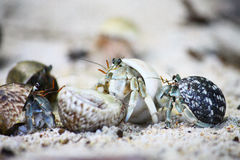 Hermit crabs on the beach Stock Photos