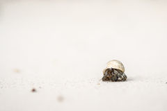 Hermit crabs are sticking head out of the shell . Stock Photography