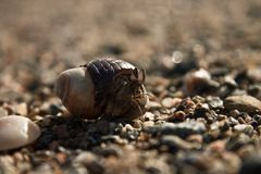 Hermit Crap by the sea. Hermit crap out of its shell by the see macro photography Stock Images