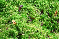Hermit popped or Sphagnum moss  in the rain forest. The shape of colorful  hermit popped or Sphagnum moss  in the rain forest Royalty Free Stock Photography