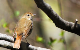 Hermit Thrush Stock Photography