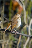 Hermit Thrush Royalty Free Stock Images