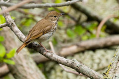Hermit Thrush Stock Images