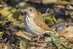 Hermit Thrush. Foraging on the forest floor Stock Photography