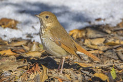 Hermit Thrush Royalty Free Stock Image
