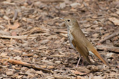 Hermit Thrush camouflaged among wood chips Stock Images