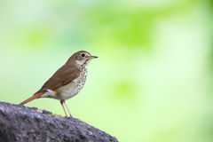 Hermit Thrush (Catharus guttatus faxoni). Spring migrant sitting in tree with green background Stock Photos