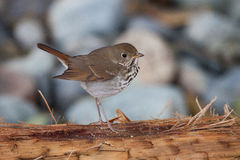 Hermit Thrush. Posing nicely for the camera Royalty Free Stock Photography