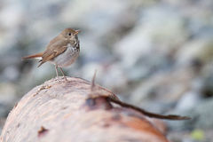 Hermit Thrush. Posing nicely for the camera Royalty Free Stock Photo