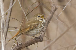 Hermit Thrush singing Royalty Free Stock Images
