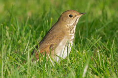 Hermit Thrush Royalty Free Stock Photos