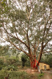 Hermitage Tree Royalty Free Stock Photo