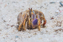 Hermitcrab on the beach Stock Photography