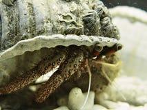 hermite de crabe Image libre de droits